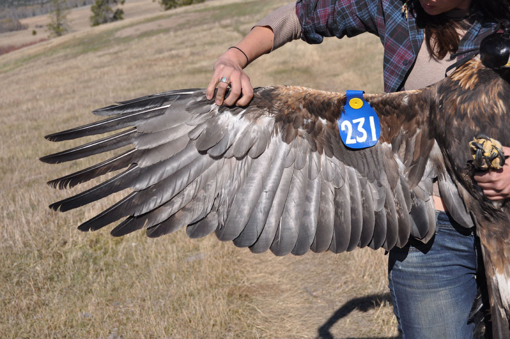 Golden Eagle Wing Tag